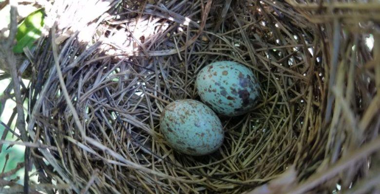 cardinal-eggs