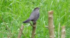 moma-catbird